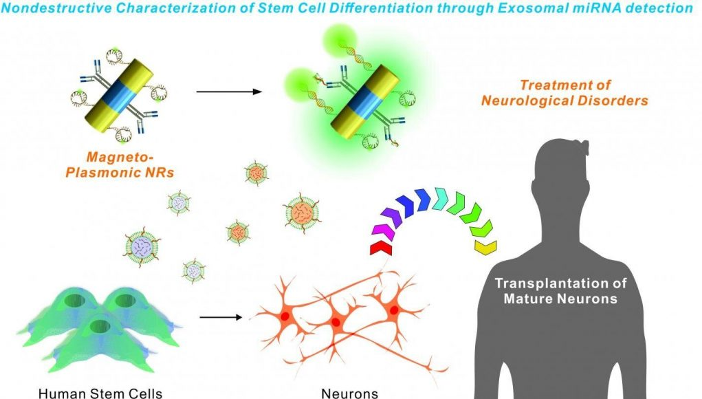 cropped New nanotechnology could aid stem cell transplantation research