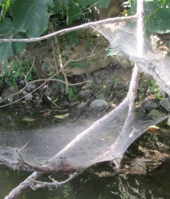 cropped Researchers find hurricanes drive the evolution of more aggressive spiders