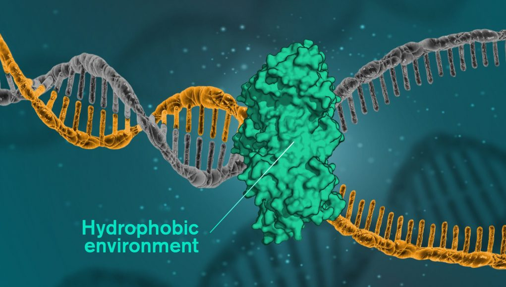 cropped DNA is held together by hydrophobic forces