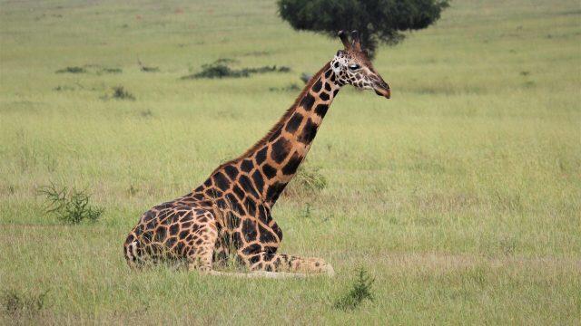 cropped The dark giraffe the new dark horse