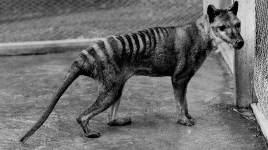 cropped The shared evolution of the Tasmanian tiger and the wolf