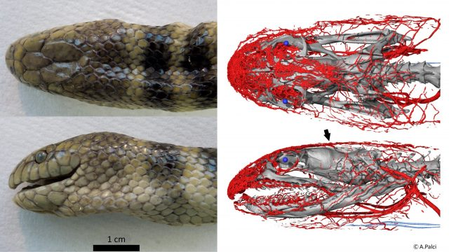 cropped Tropical sea snake uses its head to breathe