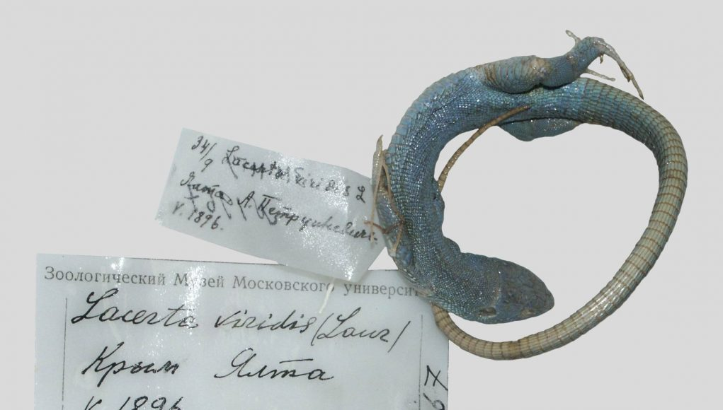 120 year old extinct lizard specimen revealed by mitochondrial DNA