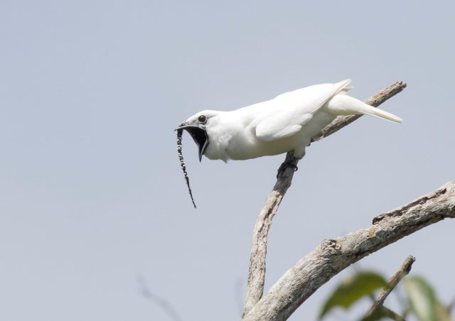 Amazons white bellbirds set new record for loudest bird call
