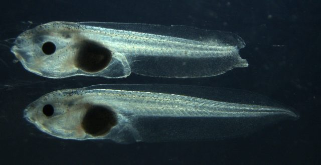 By cutting out one gene researchers remove a tadpoles ability to regenerate
