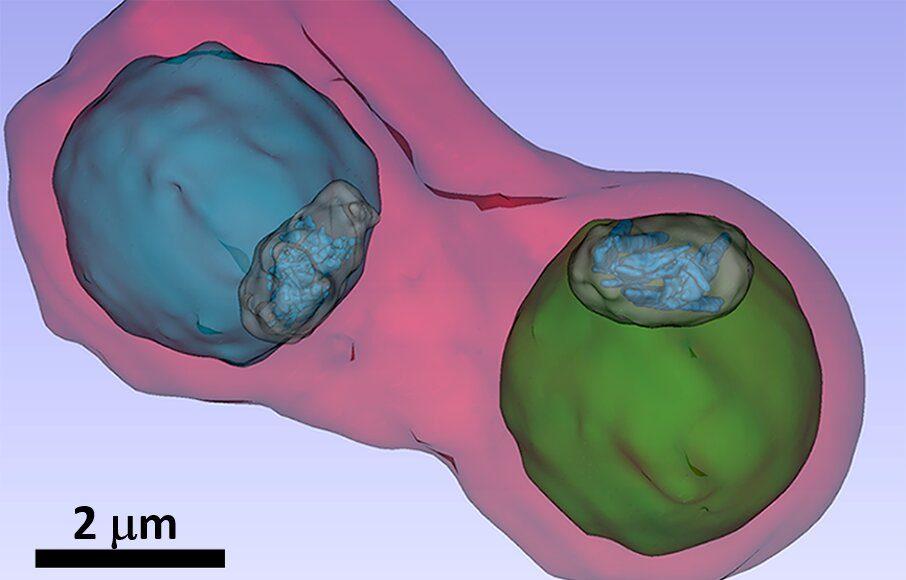 Malaria pathogen under the X ray microscope