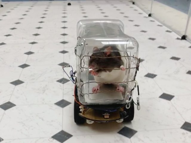 Rats trained to drive tiny cars find it relaxing scientists report