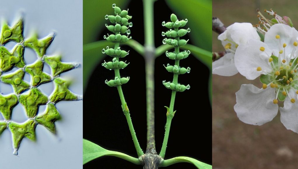 Study provides framework for one billion years of green plant evolution