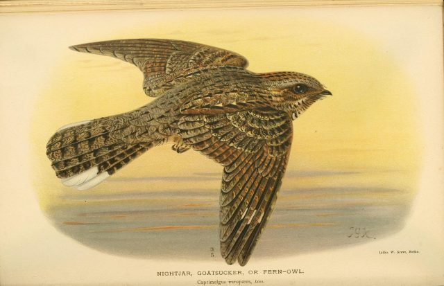 The lunar cycle drives the nightjars migration