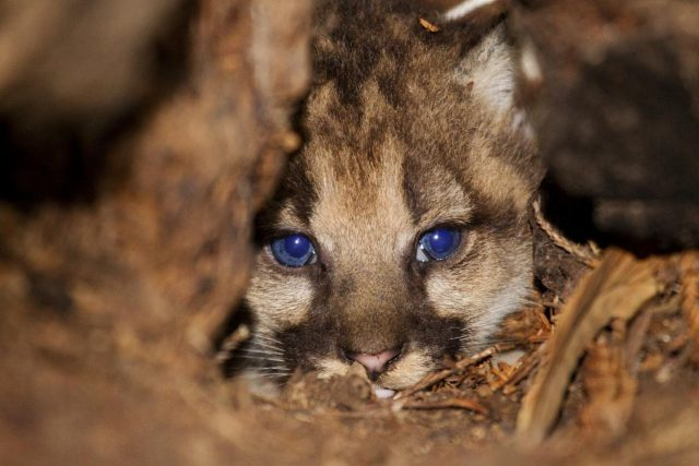 Whole genome sequencing could help save pumas from inbreeding