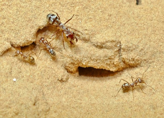 Worlds fastest ant hits recording breaking speed of 855
