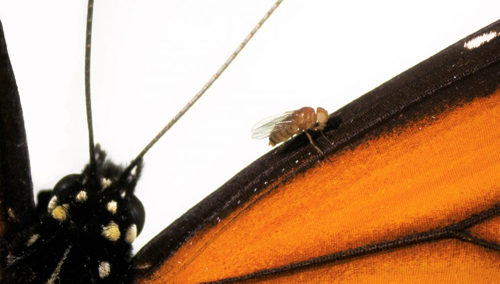 cropped Scientists recreate in flies the mutations that let monarch butterfly eat toxic milkweed with impunity