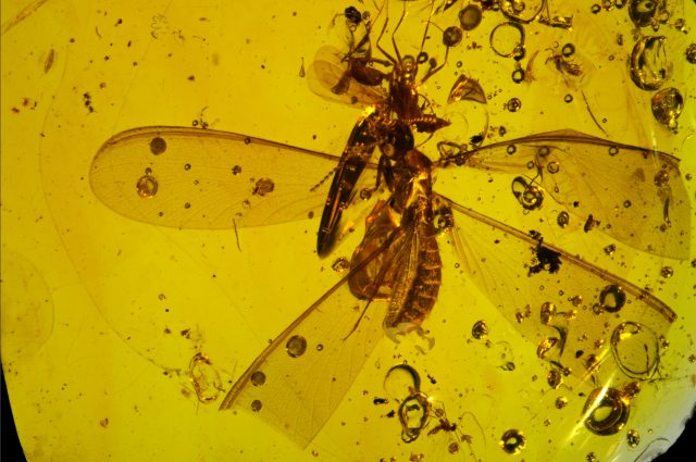 16 million year old fossil shows springtails hitchhiking on winged termite