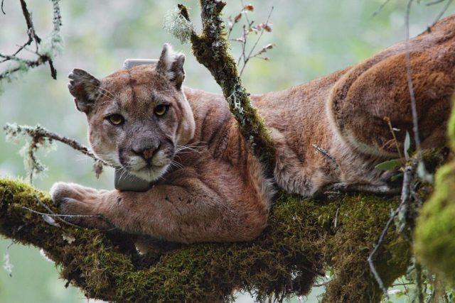 Coastal fog linked to high levels of mercury found in mountain lions study finds