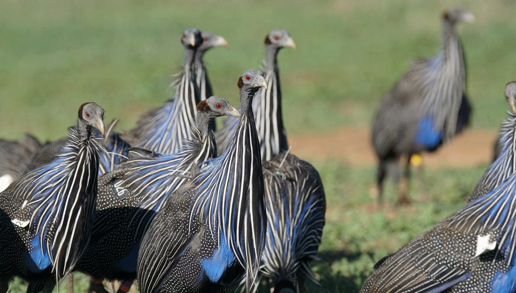 Complex society discovered in the vulturine guineafowl