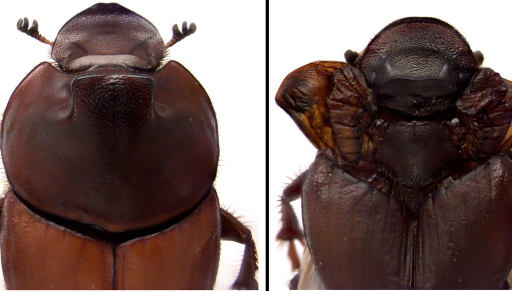 Dung beetle discovery revises biologists understanding of how nature innovates scaled