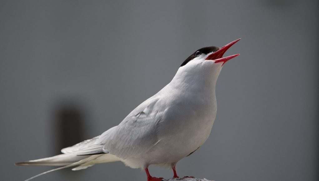 First evidence of the impact of climate change on Arctic Terns