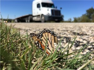 Millions of monarch butterflies killed on Texas highways