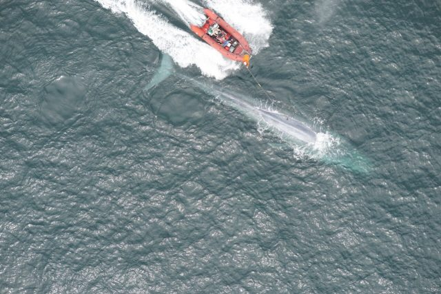 Researchers report first recording of a blue whales heart rate