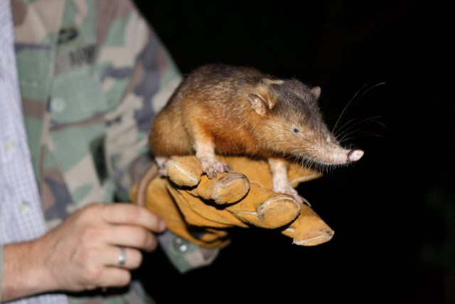 Unravelling the venomous bite of an endangered mammal scaled