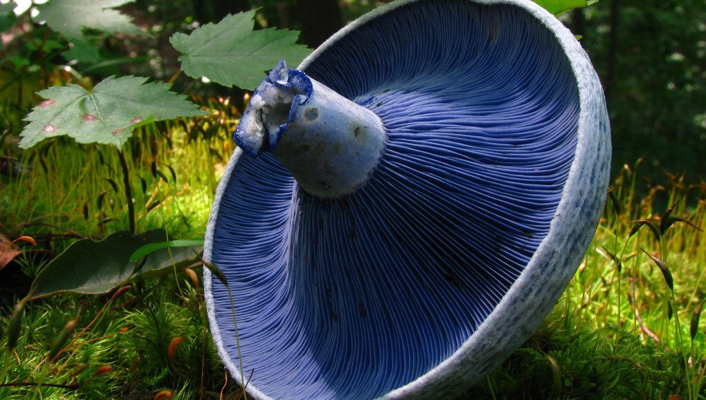 Blue mushroom dye used to develop new fluorescent tool for cell biologists