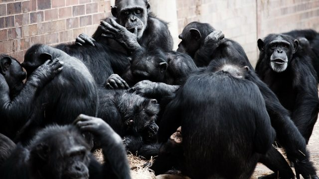 Chimpanzees more likely to share tools teach skills when task is complex