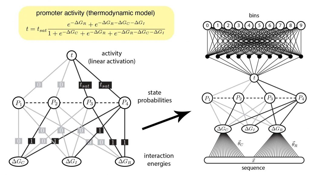 Finally machine learning interprets gene regulation clearly