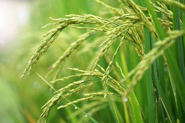 Grain traits traced to dark matter of rice genome