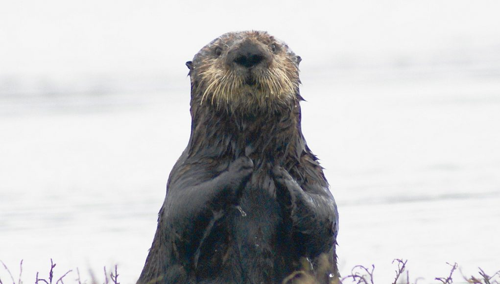 Key to helping southern sea otter is in repopulating estuaries such as San Francisco Bay