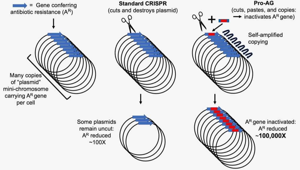 New CRISPR based system targets amplified antibiotic resistant genes