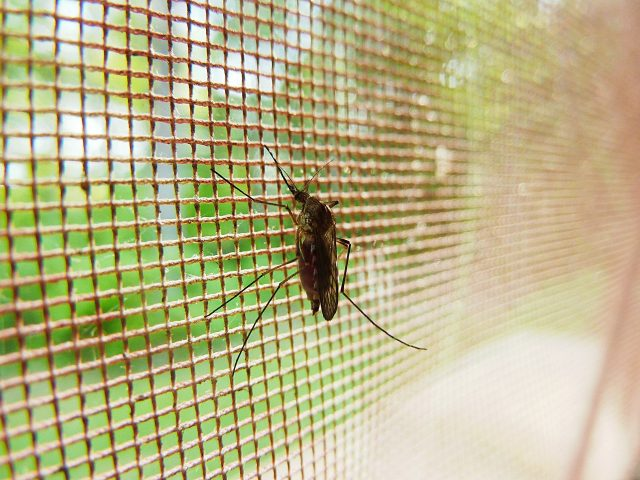 Researchers identify that mosquitoes can sense toxins through their legs
