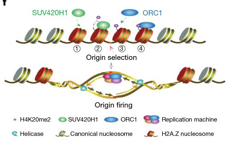 Scientists reveal function of histone variant H2A.Z in DNA replication selection
