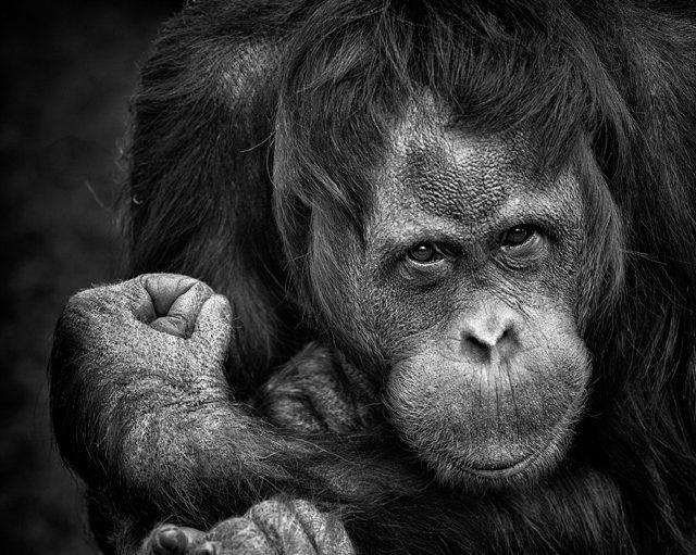 Secrets of orangutan language revealed