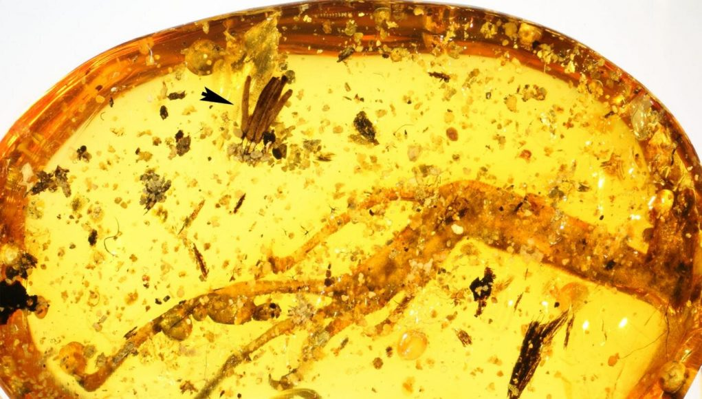 100 million years in amber Researchers discover oldest fossilized slime mold
