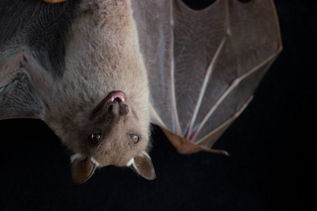 Birds and bats have strange gut microbiomes—probably because they can fly