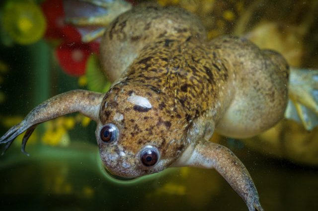 Living robots built using frog cells