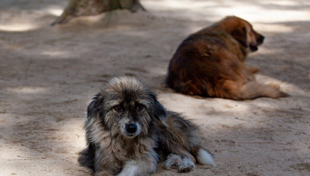 New dog old tricks Stray dogs can understand human cues