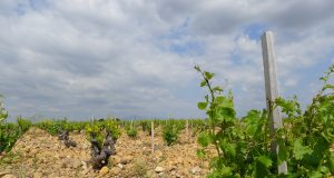 Wine regions could shrink dramatically with climate change unless growers swap varieties scaled