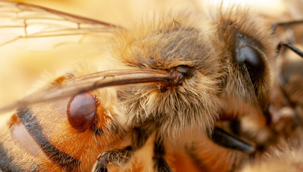 Bacteria engineered to protect bees from pests and pathogens