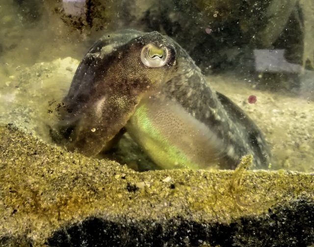 Cuttlefish eat less for lunch when they know therell be shrimp for dinner