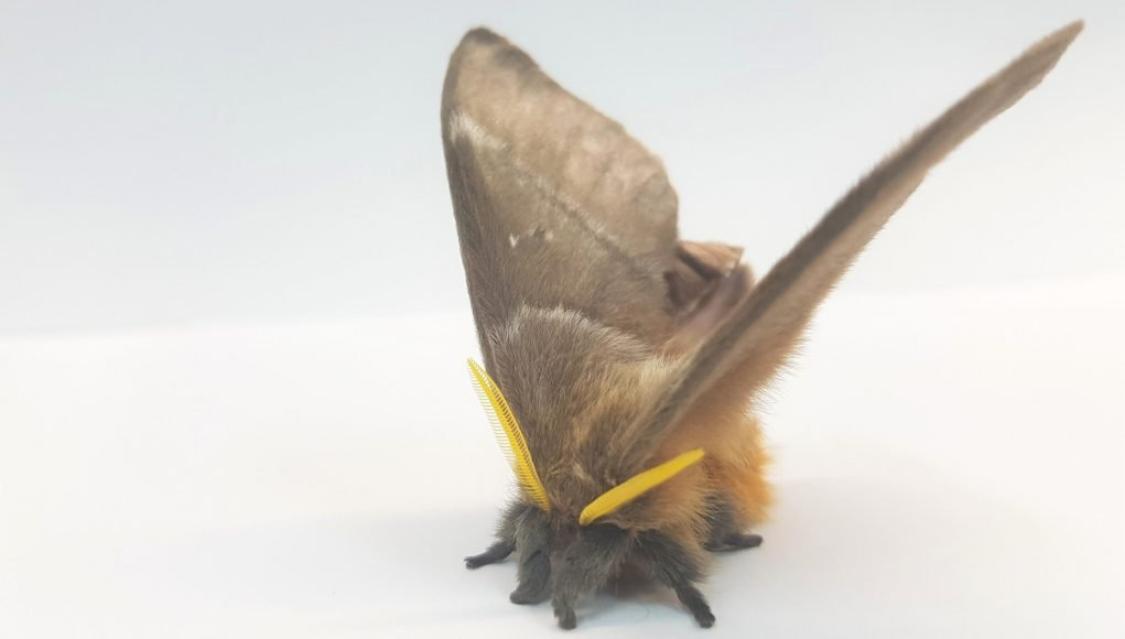 Deaf moths evolved noise cancelling scales to evade predators scaled