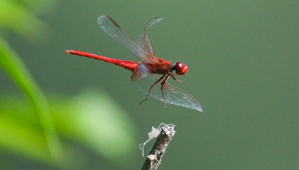 Half a million insect species face extinction scientists