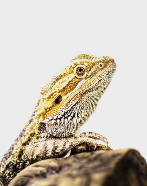 Hidden away An enigmatic mammalian brain area revealed in reptiles