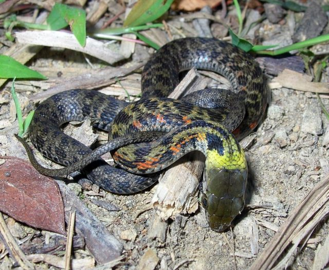 Line of defense Scientists report surprising evolutionary shift in snakes