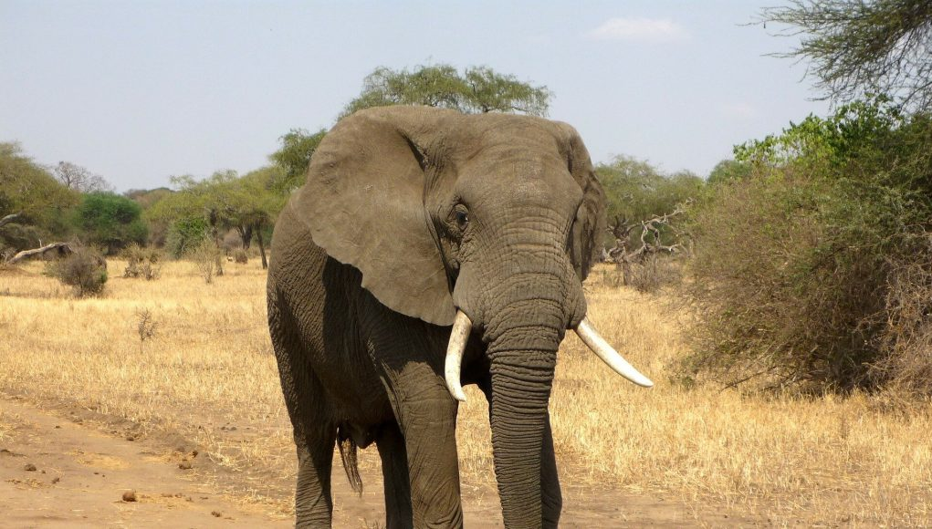 Researchers study elephants unique interactions with their dead