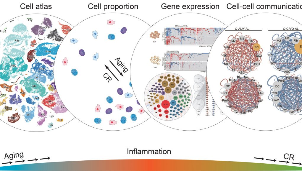 Scientists show how caloric restriction prevents negative effects of aging in cells scaled