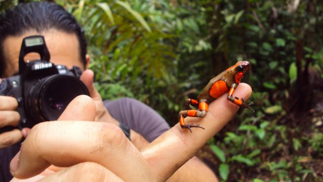 Study reveals origin of endangered Colombian poison frog hybrids scaled