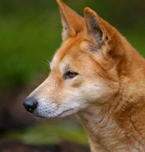 They were once domestic pets then natural selection made dingoes wild