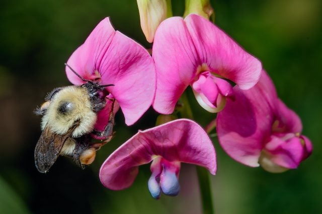 Why bumble bees are going extinct in time of climate chaos scaled