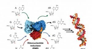 Biochemists trap and visualize an enzyme as it becomes active